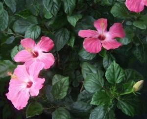 Pink Hibiscus Flowers!